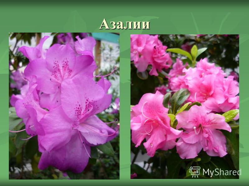 Азалии