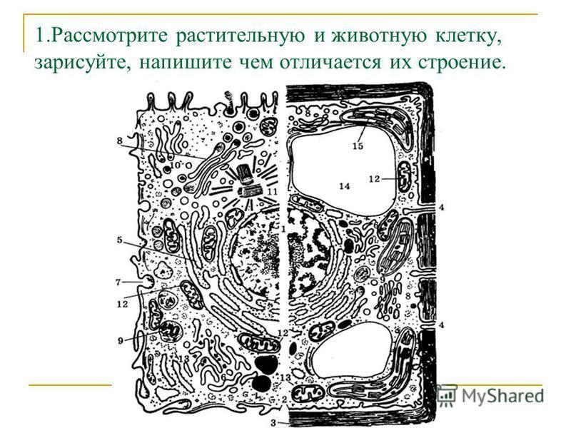 1. Рассмотрите растительную и животную клетку, зарисуйте, напишите чем отличается их строение.