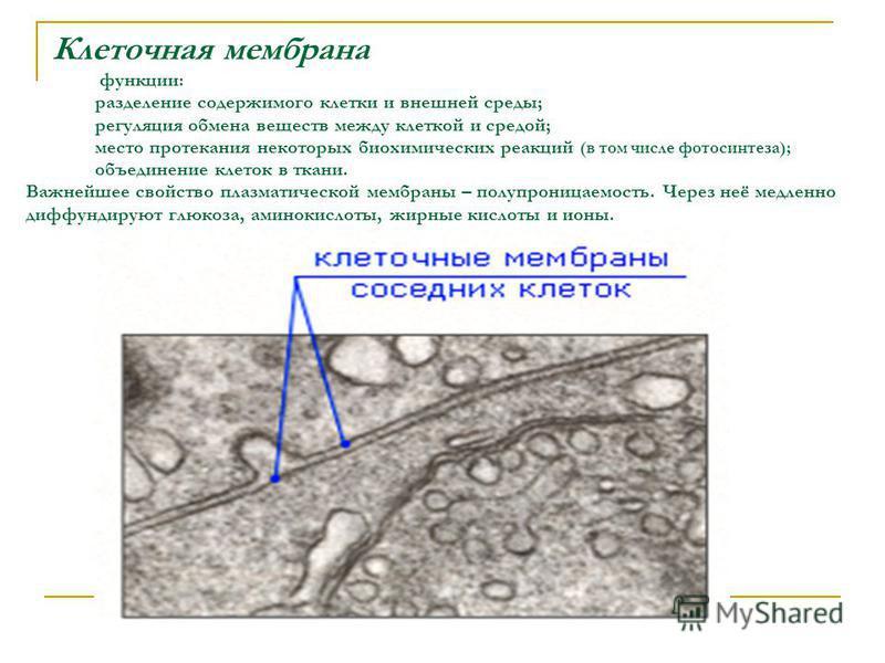 Клеточная мембрана функции: разделение содержимого клетки и внешней среды; регуляция обмена веществ между клеткой и средой; место протекания некоторых биохимических реакций (в том числе фотосинтеза); объединение клеток в ткани. Важнейшее свойство пла