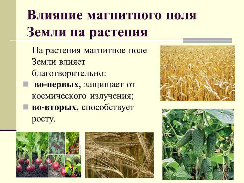 Влияние магнитного поля Земли на растения На растения магнитное поле Земли влияет благотворительно: во-первых, защищает от космического излучения; во-вторых, способствует росту. 20