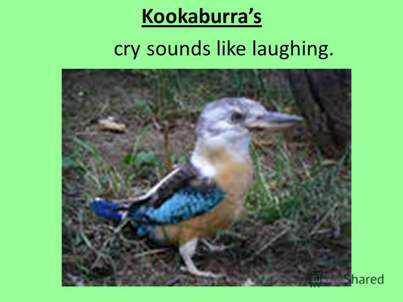 Kookaburras cry sounds like laughing.