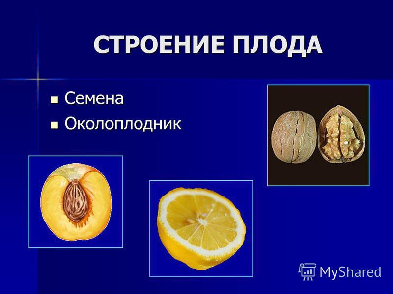 СТРОЕНИЕ ПЛОДА Семена Семена Околоплодник Околоплодник
