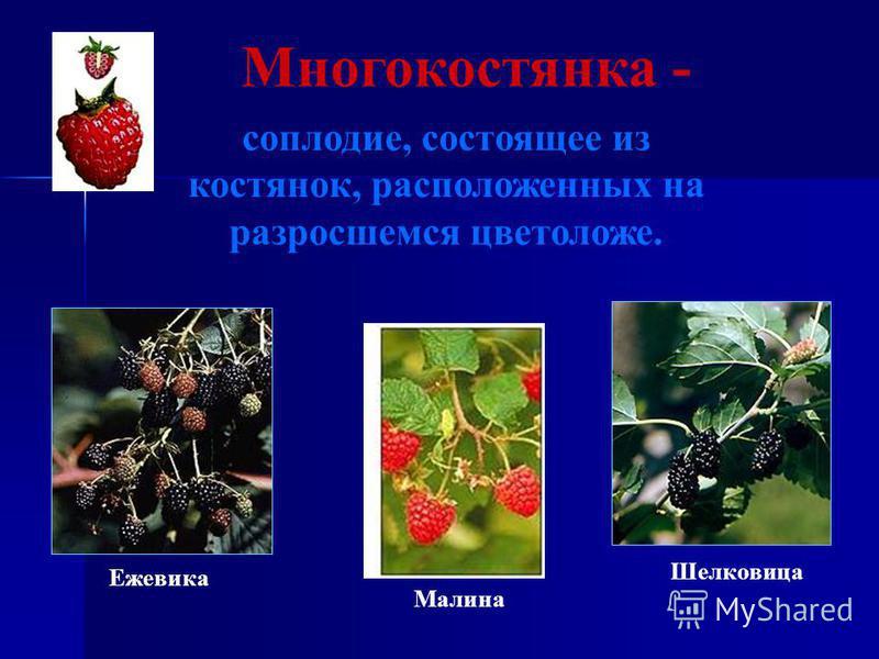Многокостянка - соплодие, состоящее из костянок, расположенных на разросшемся цветоложе. Малина Ежевика Шелковица