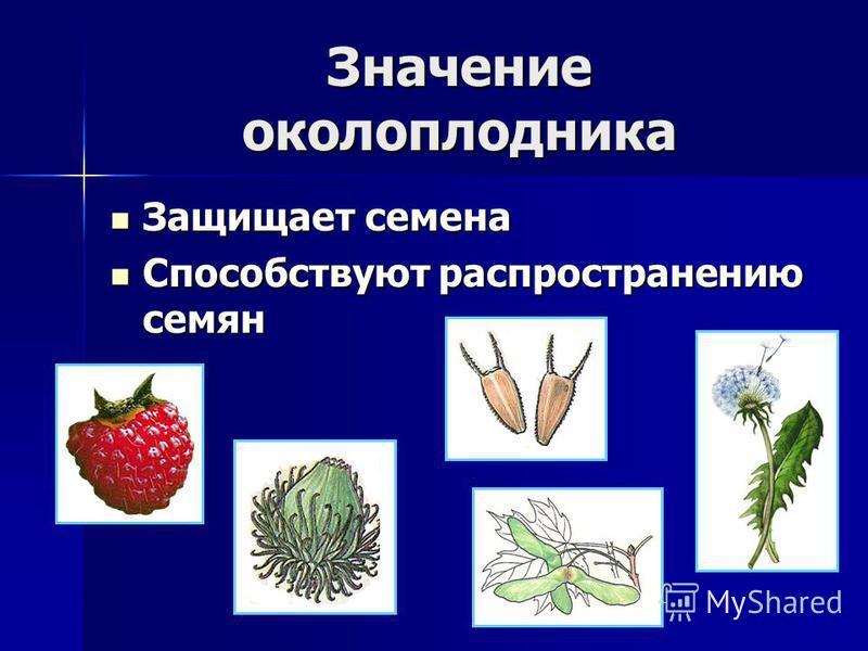 Значение околоплодника Защищает семена Защищает семена Способствуют распространению семян Способствуют распространению семян