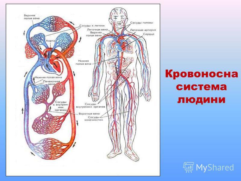 Кровоносна система людини