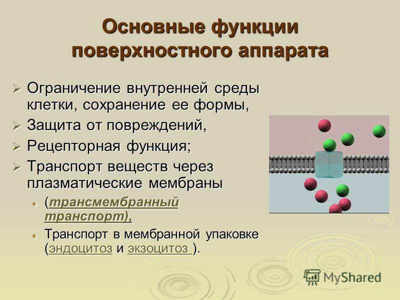 Основные функцииии поверхностного аппарата Ограничение внутренней среды клетки, сохранение ее формы, Ограничение внутренней среды клетки, сохранение ее формы, Защита от повреждений, Защита от повреждений, Рецепторная функцииия; Рецепторная функцииия;