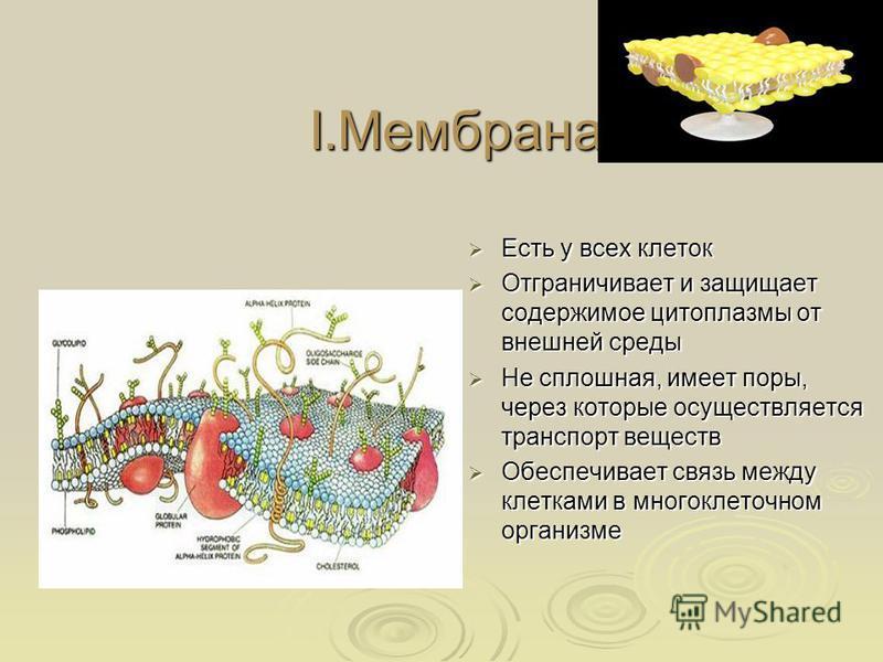 I.Мембрана Есть у всех клеток Есть у всех клеток Отграничивает и защищает содержимое цитоплазмы от внешней среды Отграничивает и защищает содержимое цитоплазмы от внешней среды Не сплошная, имеет поры, через которые осуществляется транспорт веществ Н