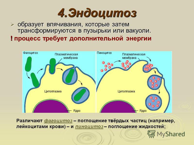 4. Эндоцитоз образует впячивания, которые затем трансформируются в пузырьки или вакуоли. образует впячивания, которые затем трансформируются в пузырьки или вакуоли. ! ! процесс требует дополнительной энергии Различают фагоцитоз – поглощение твёрдых ч