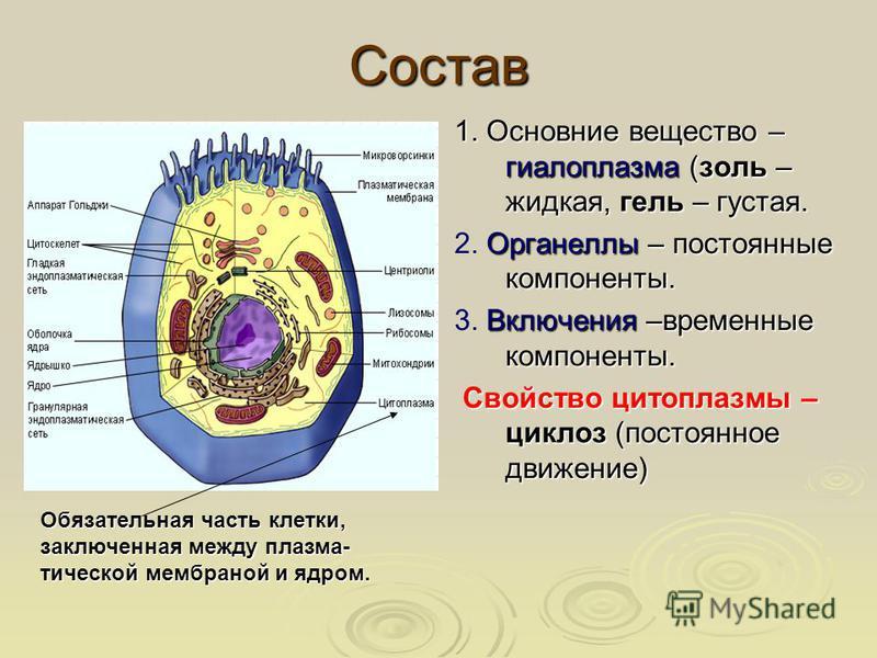 Состав 1. Основние вещество – гиалоплазма (золь – жидкая, гель – густая. Органеллы – постоянные компоненты. 2. Органеллы – постоянные компоненты. Включения –временные компоненты. 3. Включения –временные компоненты. Свойство цитоплазмы – циклоз (посто