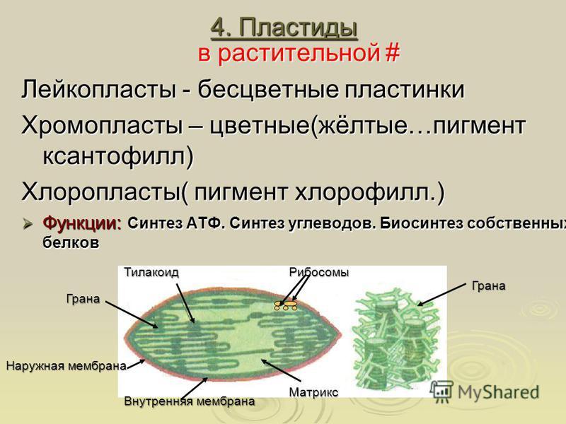 4. Пластиды 4. Пластиды в растительной # Лейкопласты - бесцветные пластинки Хромопласты – цветные(жёлтые…пигмент ксантофилл) Хлоропласты( пигмент хлорофилл.) Функции: Синтез АТФ. Синтез углеводов. Биосинтез собственных белков Функции: Синтез АТФ. Син