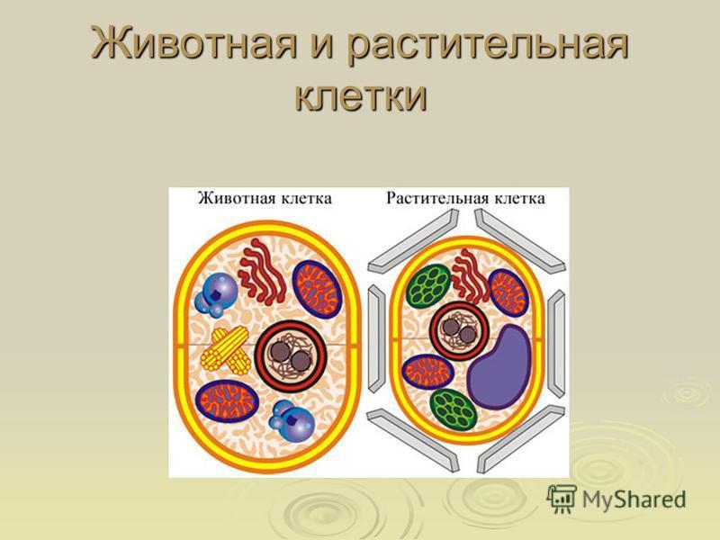Животная и растительная клетки