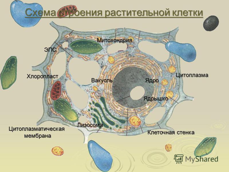 Схема строения растительной клетки Схема строения растительной клетки Ядро Ядрышко Вакуоль Хлоропласт Митохондрия Лизосома Цитоплазматическая мембрана мембрана Клеточная стенка Цитоплазма ЭПС