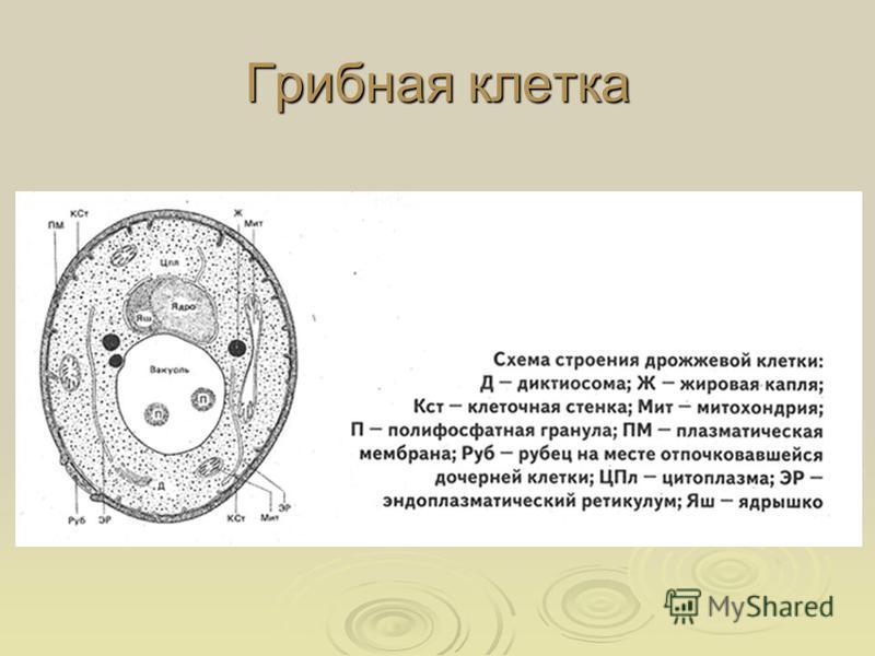 Грибная клетка