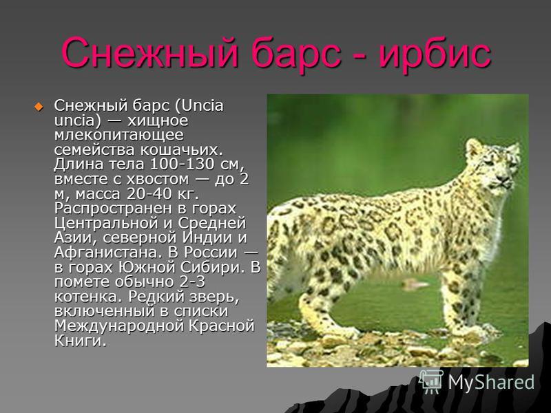 Снежный барс - ирбис Снежный барс (Uncia uncia) хищное млекопитающее семейства кошачьих. Длина тела 100-130 см, вместе с хвостом до 2 м, масса 20-40 кг. Распространен в горах Центральной и Средней Азии, северной Индии и Афганистана. В России в горах