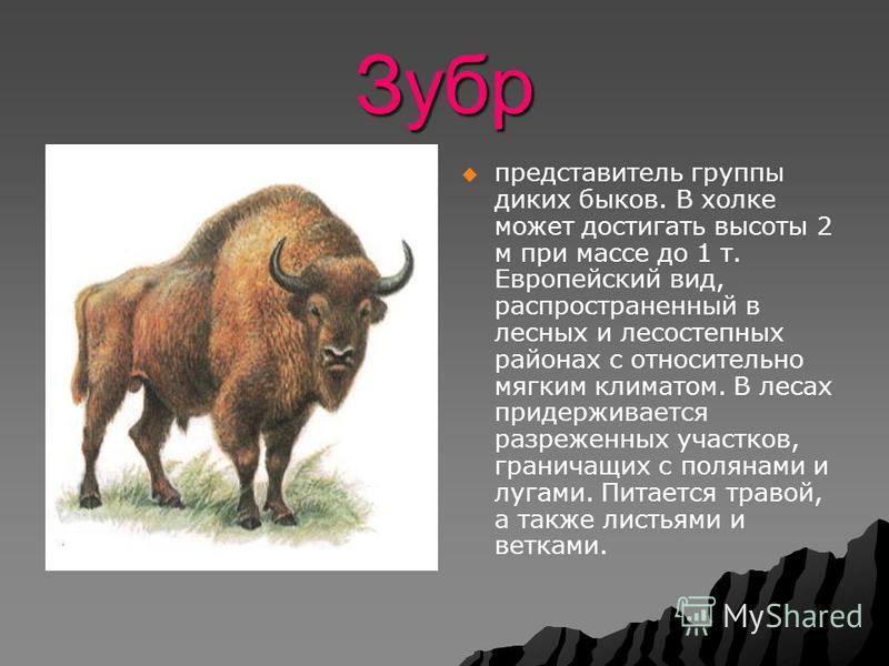 Зубр представитель группы диких быков. В холке может достигать высоты 2 м при массе до 1 т. Европейский вид, распространенный в лесных и лесостепных районах с относительно мягким климатом. В лесах придерживается разреженных участков, граничащих с пол