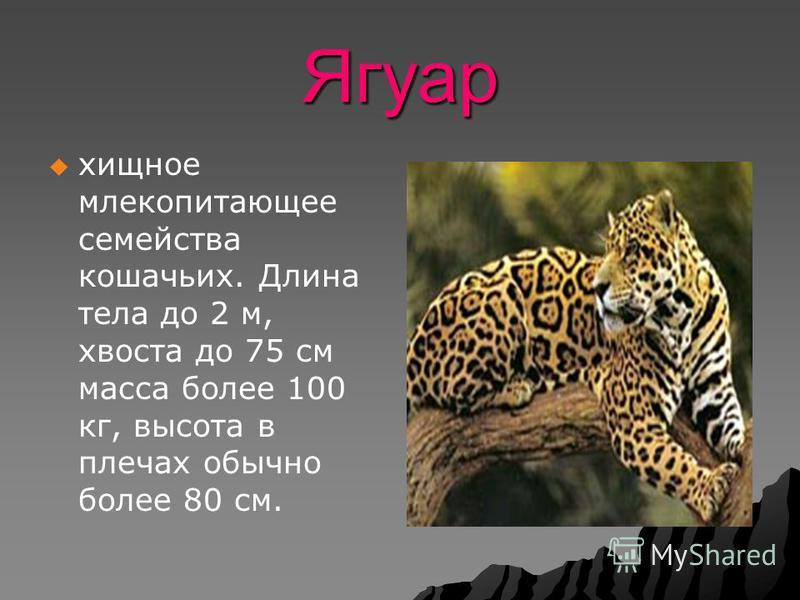 Ягуар хищное млекопитающее семейства кошачьих. Длина тела до 2 м, хвоста до 75 см масса более 100 кг, высота в плечах обычно более 80 см.