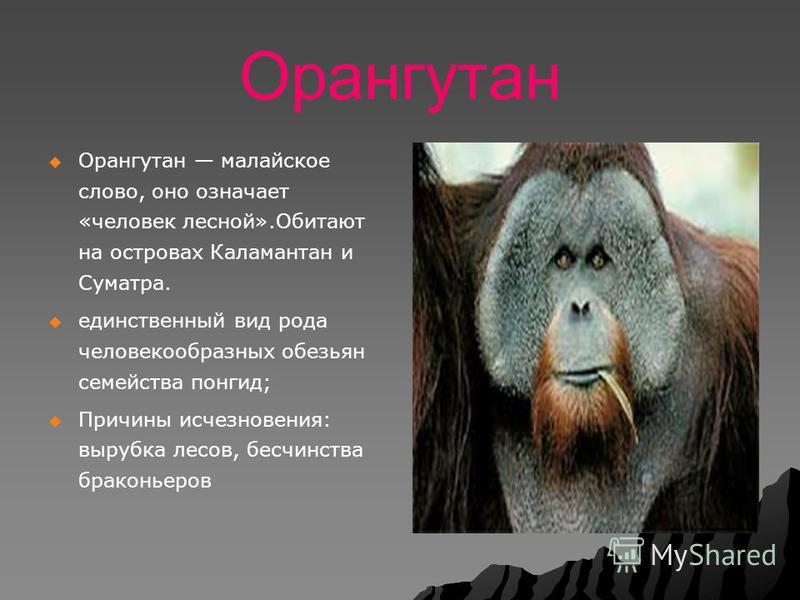 Орангутан Орангутан малайское слово, оно означает «человек лесной».Обитают на островах Каламантан и Суматра. единственный вид рода человекообразных обезьян семейства понгид; Причины исчезновения: вырубка лесов, бесчинства браконьеров
