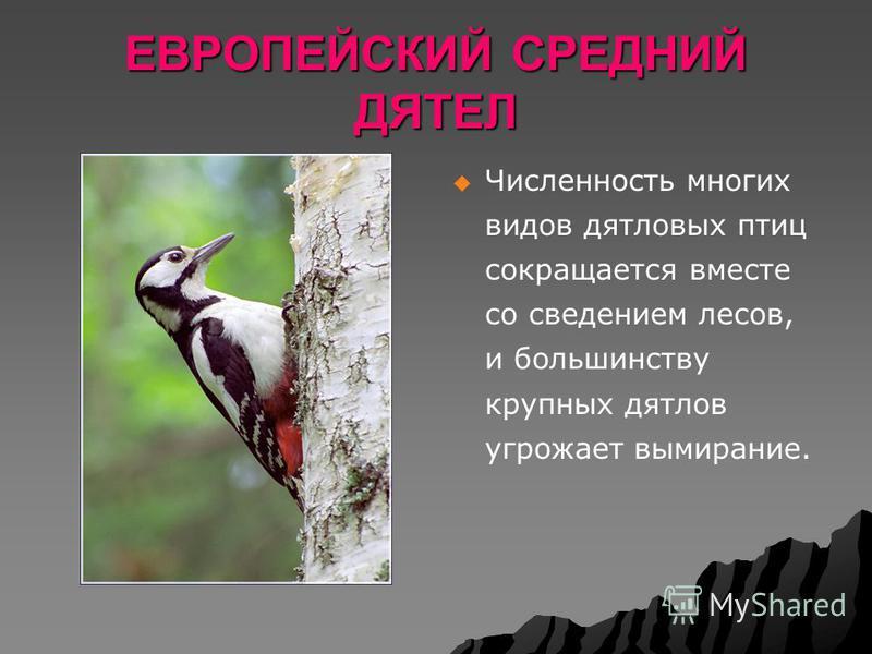 ЕВРОПЕЙСКИЙ СРЕДНИЙ ДЯТЕЛ Численность многих видов дятловых птиц сокращается вместе со сведением лесов, и большинству крупных дятлов угрожает вымирание.