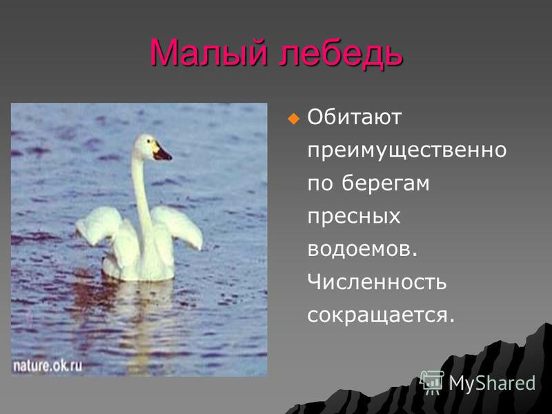 Малый лебедь Обитают преимущественно по берегам пресных водоемов. Численность сокращается.