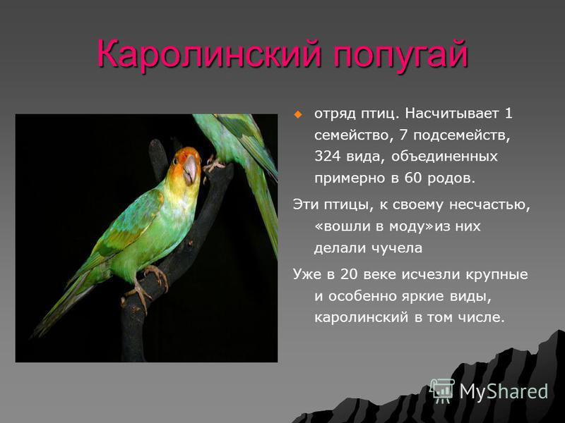 Каролинский попугай отряд птиц. Насчитывает 1 семейство, 7 подсемейств, 324 вида, объединенных примерно в 60 родов. Эти птицы, к своему несчастью, «вошли в моду»из них делали чучела Уже в 20 веке исчезли крупные и особенно яркие виды, каролинский в т