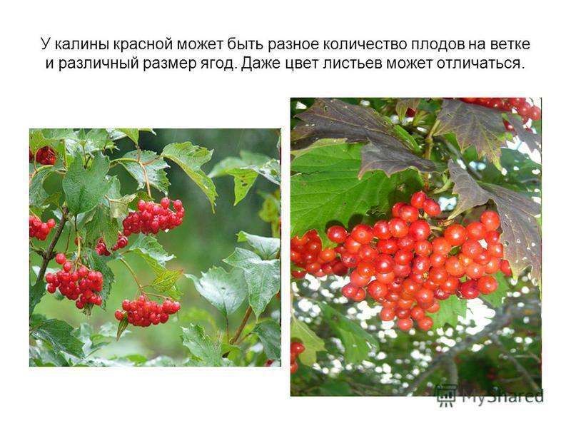 У калины красной может быть разное количество плодов на ветке и различный размер ягод. Даже цвет листьев может отличаться.