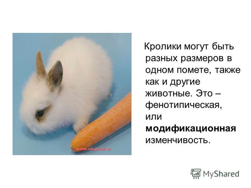 Кролики могут быть разных размеров в одном помете, также как и другие животные. Это – фенотипическая, или модификационная изменчивость.