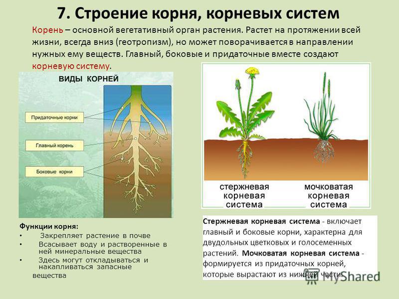 7. Строение корня, корневых систем Функции корня: Закрепляет растение в почве Всасывает воду и растворенные в ней минеральные вещества Здесь могут откладываться и накапливаться запасные вещества Корень – основной вегетативный орган растения. Растет н