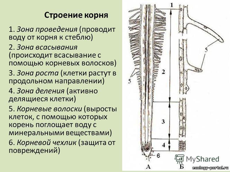Строение корня 1. Зона проведения (проводит воду от корня к стеблю) 2. Зона всасывания (происходит всасывание с помощью корневых волосков) 3. Зона роста (клетки растут в продольном направлении) 4. Зона деления (активно делящиеся клетки) 5. Корневые в
