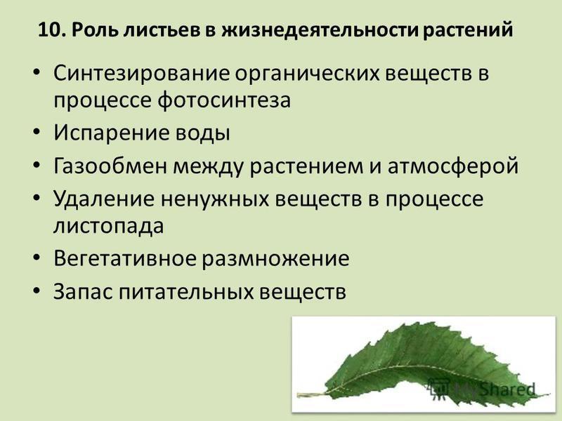 10. Роль листьев в жизнедеятельности растений Синтезирование органических веществ в процессе фотосинтеза Испарение воды Газообмен между растением и атмосферой Удаление ненужных веществ в процессе листопада Вегетативное размножение Запас питательных в