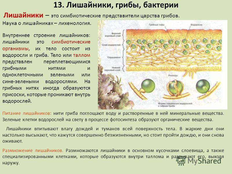 Внутреннее строение лишайников: лишайники это симбиотические организмы, их тело состоит из водоросли и гриба. Тело или таллом представлен переплетающимися грибными нитями и одноклеточными зелеными или сине-зелеными водорослями. На грибных нитях иногд
