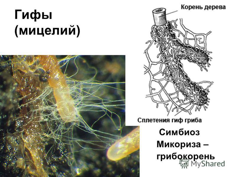 Гифы (мицелий) Симбиоз Микориза – грибокорень