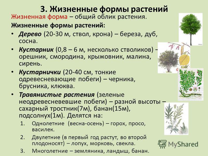3. Жизненные формы растений Жизненная форма – общий облик растения. Жизненные формы растений: Дерево (20-30 м, ствол, крона) – береза, дуб, сосна. Кустарник (0,8 – 6 м, несколько стволиков) – орешник, смородина, крыжовник, малина, сирень. Кустарнички