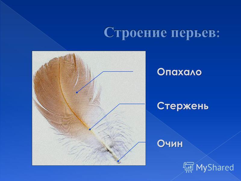 Опахало СтерженьОчин