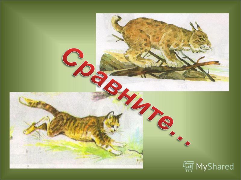 Работа по учебнику. 1. Рассмотрите иллюстрацию с изображением рыси на странице 70. 2. Прочитайте текст «Рысь – дикая кошка». 3. Сравните описание рыси в учебнике со своими наблюдениями за кошкой.