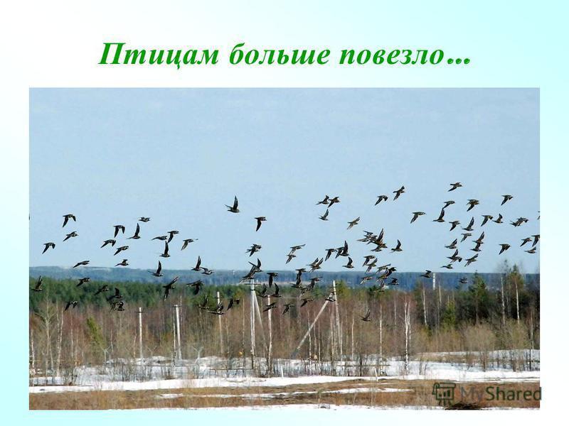 Птицам больше повезло …