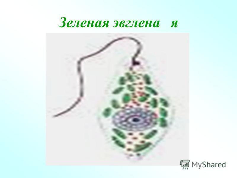 Зеленая эвглена я