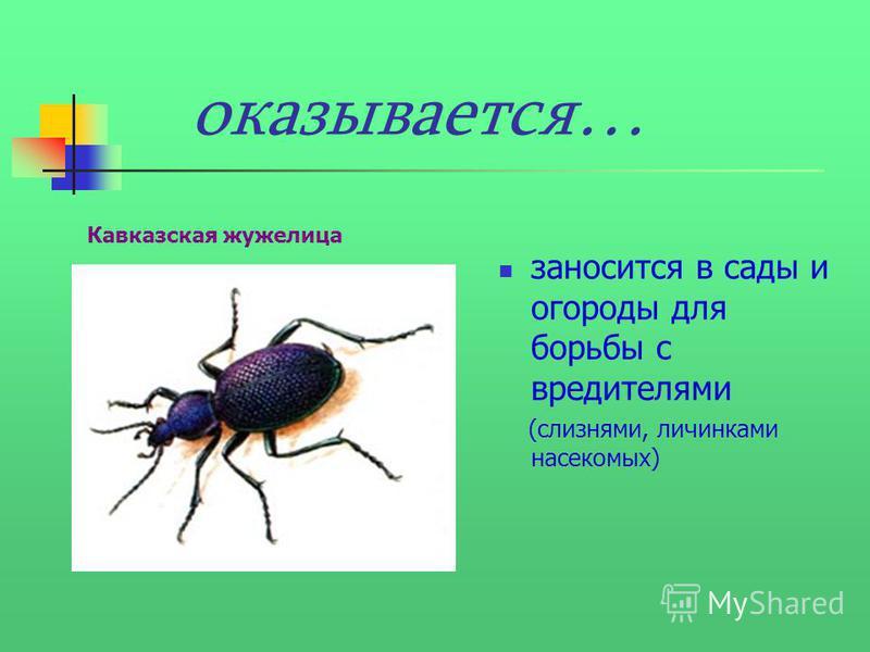 оказывается… заносится в сады и огороды для борьбы с вредителями (слизнями, личинками насекомых) Кавказская жужелица