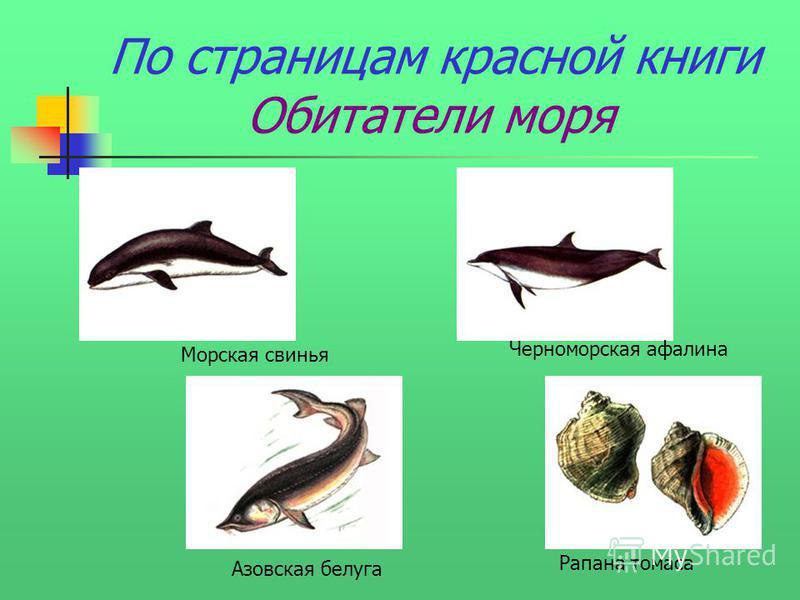 По страницам красной книги Обитатели моря Рапана томаса Черноморская афалина Морская свинья Азовская белуга