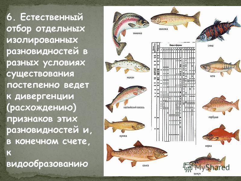 6. Естественный отбор отдельных изолированных разновидностей в разных условиях существования постепенно ведет к дивергенции (расхождению) признаков этих разновидностей и, в конечном счете, к видообразованию
