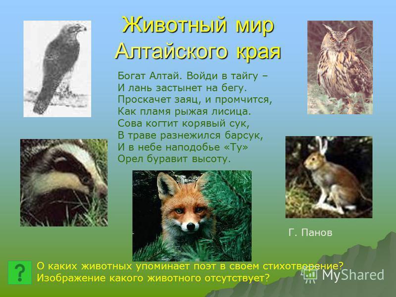 Животный мир Алтайского края Богат Алтай. Войди в тайгу – И лань застынет на бегу. Проскачет заяц, и промчится, Как пламя рыжая лисица. Сова когтит корявый сук, В траве разнежился барсук, И в небе наподобие «Ту» Орел буравит высоту. О каких животных