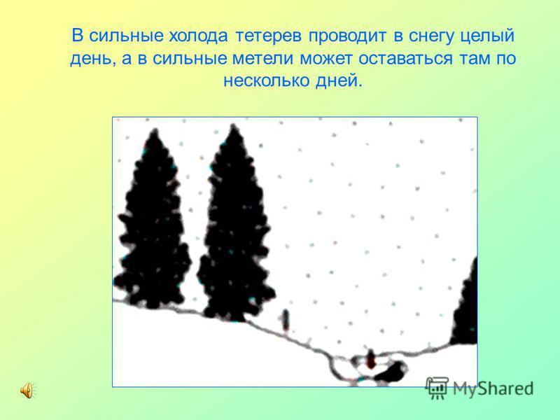 В сильные холода тетерев проводит в снегу целый день, а в сильные метели может оставаться там по несколько дней.