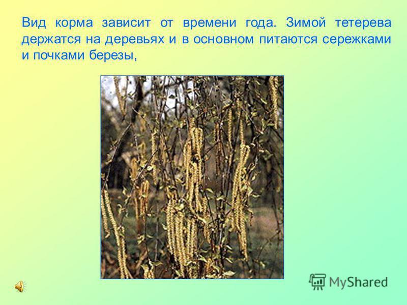 Вид корма зависит от времени года. Зимой тетерева держатся на деревьях и в основном питаются сережками и почками березы,