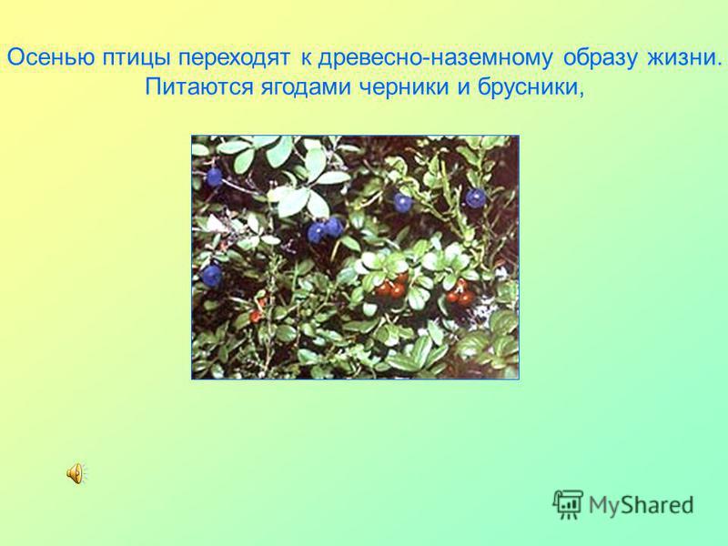 Осенью птицы переходят к древесно-наземному образу жизни. Питаются ягодами черники и брусники,