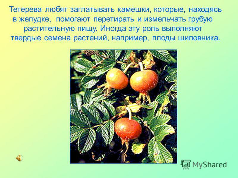 Тетерева любят заглатывать камешки, которые, находясь в желудке, помогают перетирать и измельчать грубую растительную пищу. Иногда эту роль выполняют твердые семена растений, например, плоды шиповника.