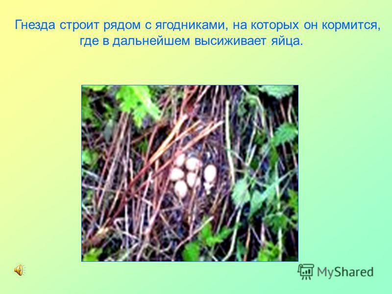 Гнезда строит рядом с ягодниками, на которых он кормится, где в дальнейшем высиживает яйца.