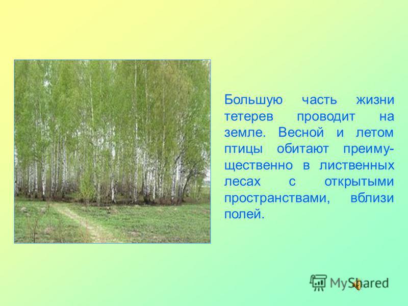 Большую часть жизни тетерев проводит на земле. Весной и летом птицы обитают преимущественно в лиственных лесах с открытыми пространствами, вблизи полей.