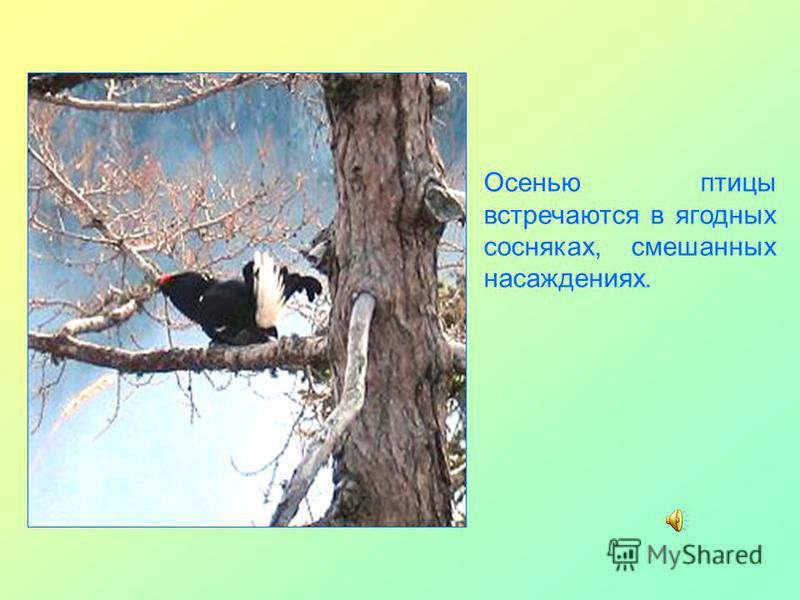 Осенью птицы встречаются в ягодных сосняках, смешанных насаждениях.