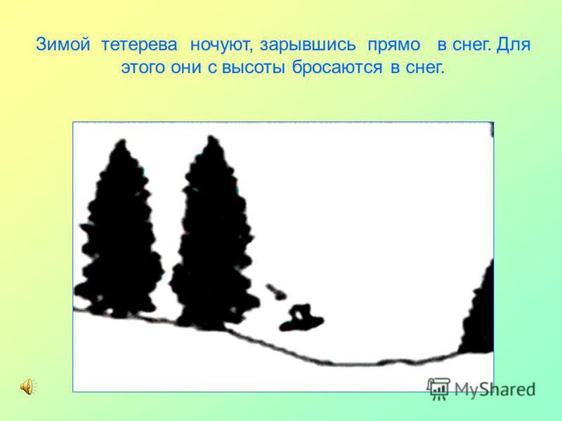 Зимой тетерева ночуют, зарывшись прямо в снег. Для этого они с высоты бросаются в снег.