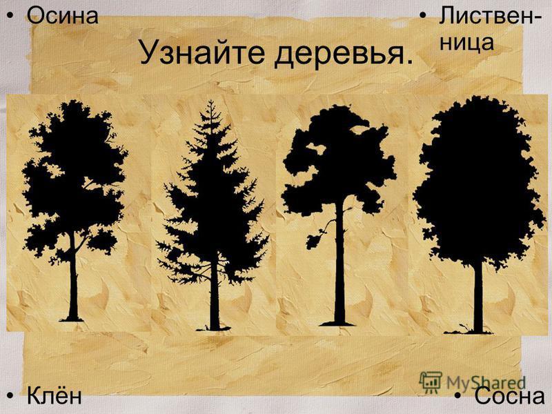 Узнайте деревья. Клён Сосна Листвен- ница Осина