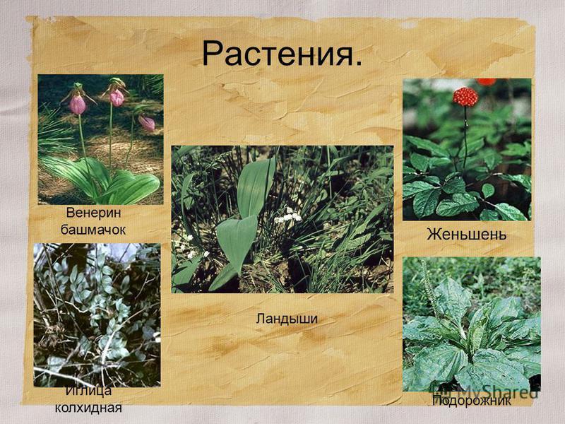 Растения. Венерин башмачок Иглица колхидная Ландыши Женьшень Подорожник